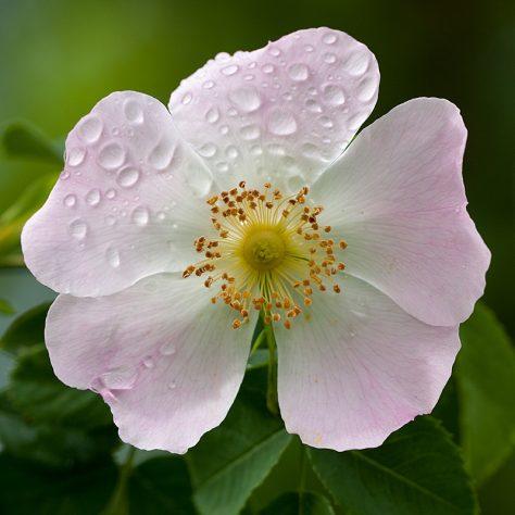 fleur-deglantier2