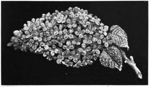 branche-de-lilas-1867-par-rouvenat-imp-eugenie